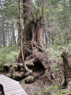 Wickaninnish Trail Tree