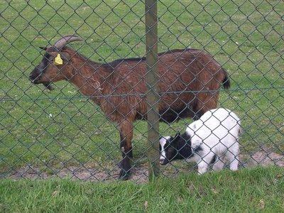 Goats chillin'