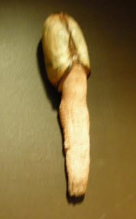 Phallic conch